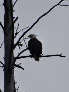 Bald Eagle, emblème des Etats Unis
