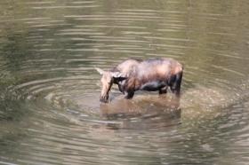 Moose du matin