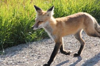 Jeune renard croisé au bord de la route